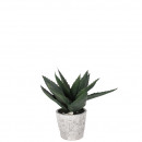 potted Aloe, height 25cm, 13 sheets in cement tubs